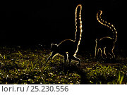 Ringtail Lemurs (Lemur catta) silhouetted. Madagascar. Стоковое фото, фотограф Andy Rouse / Nature Picture Library / Фотобанк Лори