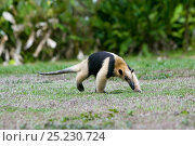 Lesser anteater (Tamandua mexicana) Corcovado National Park, Costa rica. Стоковое фото, фотограф Denis-Huot / Nature Picture Library / Фотобанк Лори