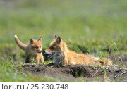 Red Fox (Vulpes vulpes) mother and cub by their den hole. Kronotsky Zapovednik Nature Reserve, Kamchatka Peninsula, Russian Far East, August. Редакционное фото, фотограф Igor Shpilenok / Nature Picture Library / Фотобанк Лори