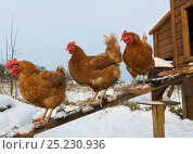 Купить «Domestic chickens outside snow covered coop on allotment, England, January», фото № 25230936, снято 28 мая 2018 г. (c) Nature Picture Library / Фотобанк Лори