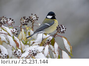 Купить «Great Tit (Parus major) on snow covered ivy, Vosges, France, January», фото № 25231144, снято 4 июня 2020 г. (c) Nature Picture Library / Фотобанк Лори