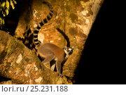 Купить «Ringtail Lemur (Lemur catta) on branch. Madagascar.», фото № 25231188, снято 22 сентября 2018 г. (c) Nature Picture Library / Фотобанк Лори