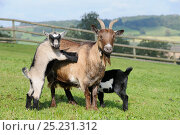 Купить «Young kid Pygmy goat (Capra hircus) stands with its front feet on its mother's flank as its sibling suckles from the other side, Wiltshire, UK, September.», фото № 25231312, снято 26 мая 2019 г. (c) Nature Picture Library / Фотобанк Лори