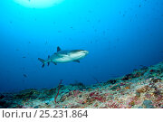 Купить «Whitetip reef shark (Triaenodon obesus) Maldives, Indian Ocean», фото № 25231864, снято 26 апреля 2019 г. (c) Nature Picture Library / Фотобанк Лори