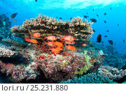 Купить «Shoal of Immaculate soldierfish (Myripristis vittata) over coral reef, Maldives, Indian Ocean», фото № 25231880, снято 21 июня 2018 г. (c) Nature Picture Library / Фотобанк Лори