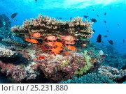 Купить «Shoal of Immaculate soldierfish (Myripristis vittata) over coral reef, Maldives, Indian Ocean», фото № 25231880, снято 23 февраля 2018 г. (c) Nature Picture Library / Фотобанк Лори