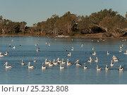 Купить «Australian pelicans (Pelecanus conspicillatus) along with Little black cormorants (Phalacrocorax sulcirostris) feeding in the hundreds along the Cooper Creek, South Australia, Australia», фото № 25232808, снято 18 января 2019 г. (c) Nature Picture Library / Фотобанк Лори