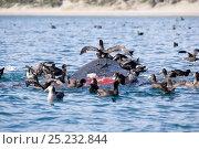 Купить «Southern Giant-Petrel (Macronectes giganteus) feeding on dead calf of Southern right whale (Eubalaena australis) Puerto Piramides, Golfo Nuevo, Peninsula...», фото № 25232844, снято 20 июня 2019 г. (c) Nature Picture Library / Фотобанк Лори