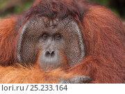 Bornean Orangutan (Pongo pygmaeus wurmbii) 'Tom' Tanjung Puting National... Стоковое фото, фотограф Jurgen Freund / Nature Picture Library / Фотобанк Лори