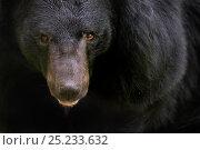 Asiatic black / Moon bear (Ursus thibetanus) portrait, captive. Стоковое фото, фотограф Edwin Giesbers / Nature Picture Library / Фотобанк Лори