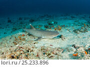 Купить «Whitetip reef shark (Triaenodon obesus) on the sea floor, Maldives, Indian Ocean», фото № 25233896, снято 26 апреля 2019 г. (c) Nature Picture Library / Фотобанк Лори