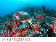 Купить «Hawksbill turtle (Eretmochelys imbricata) feeding,  Maldives, Indian Ocean, Critically endangered species», фото № 25233932, снято 31 мая 2020 г. (c) Nature Picture Library / Фотобанк Лори