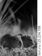 Купить «Smoky mice (Pseudomys fumeus)  feeding, at night, in infra red, Mt Rothwell nature reserve, Victoria, Australia, October», фото № 25234108, снято 14 декабря 2017 г. (c) Nature Picture Library / Фотобанк Лори