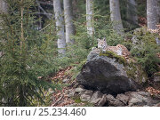 Купить «Eurasian Lynx (Lynx lynx) adult resting on large boulder close to old Common beech (Fagus sylvatica) trees, captive in enclosure of the Bavarian Forest National Park, Germany, February», фото № 25234460, снято 14 декабря 2019 г. (c) Nature Picture Library / Фотобанк Лори