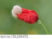 Купить «Poppy (Papaver rhoeas) flower opening, with dew drop, Peerdsbos, Brasschaat, Belgium, June», фото № 25234672, снято 15 августа 2018 г. (c) Nature Picture Library / Фотобанк Лори