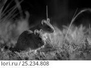 Купить «Smoky mice (Pseudomys fumeus) feeding, at night, taken with infra red camera, Mt Rothwell nature reserve, Victoria, Australia, October», фото № 25234808, снято 14 декабря 2017 г. (c) Nature Picture Library / Фотобанк Лори