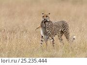 Купить «Cheetah (Acinonyx jubatus)  female carrying a rabbit to its cubs, Masai-Mara Game Reserve, Kenya. Vulnerable species.», фото № 25235444, снято 25 мая 2018 г. (c) Nature Picture Library / Фотобанк Лори
