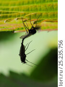 Купить «Non-biting chironomid midges (Chironomidae) silhouetted as they mate under a leaf, with the female hanging below a male with plumose antennae, Wiltshire garden, UK, April.», фото № 25235756, снято 16 октября 2018 г. (c) Nature Picture Library / Фотобанк Лори