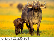 Купить «Buffalo (Syncerus caffer) mother and young, Nakuru National Park, Kenya», фото № 25235968, снято 24 февраля 2019 г. (c) Nature Picture Library / Фотобанк Лори