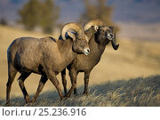 Купить «Rocky Mountain Bighorn Sheep (Ovis canadensis) males, horning each other in dominance display. Whiskey Mountain Sheep ranger, Wind River Mts near Dubois, Wyoming.», фото № 25236916, снято 19 марта 2018 г. (c) Nature Picture Library / Фотобанк Лори