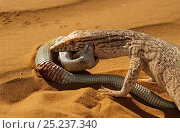 Купить «Desert monitor (Varanus griseus) trying to eat a Sand Viper (Cerastes vipera) a venomous species which is biting the Desert monitor, near Chinguetti, Mauritania Controlled conditions», фото № 25237340, снято 18 апреля 2019 г. (c) Nature Picture Library / Фотобанк Лори