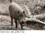 Bornean bearded pigs (Sus barbatus) foraging on Teluk Assam Beach... Стоковое фото, фотограф Jurgen Freund / Nature Picture Library / Фотобанк Лори