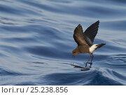 Купить «Wilson's Storm Petrel (Oceanites oceanicus) feeding whilst 'walking on water'  Atlantic ocean, Madeira Portugal, August», фото № 25238856, снято 26 марта 2019 г. (c) Nature Picture Library / Фотобанк Лори