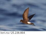 Купить «Wilson's Storm Petrel (Oceanites oceanicus) in flight over Atlantic ocean, Madeira, Portugal, August», фото № 25238864, снято 27 марта 2019 г. (c) Nature Picture Library / Фотобанк Лори