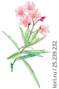 Купить «Illustration of Nerium (Nerium oleander). Pencil and watercolor painting.», фото № 25239232, снято 22 июля 2018 г. (c) Nature Picture Library / Фотобанк Лори