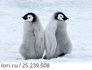 Купить «Emperor Penguins (Aptenodytes forsteri) chicks Snow Hill Island, Antarctica, November», фото № 25239508, снято 9 ноября 2018 г. (c) Nature Picture Library / Фотобанк Лори