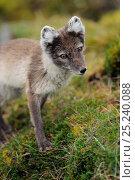 Купить «Arctic fox (Alopex lagopus) head portrait, Svalbard, Norway», фото № 25240088, снято 18 марта 2019 г. (c) Nature Picture Library / Фотобанк Лори