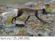 Купить «Arctic fox (Alopex lagopus) walking profile, Svalbard, Norway», фото № 25240092, снято 18 марта 2019 г. (c) Nature Picture Library / Фотобанк Лори