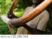 Confiscated African Forest Elephant tusks (Loxodonta africana cyclotis), Sette Cama, Loanga National Park, Gabon, February 2009. Стоковое фото, фотограф Jabruson / Nature Picture Library / Фотобанк Лори