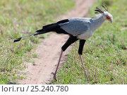 Secretary bird (Sagittarius serpentarius) male hunting, Masai Mara National Reserve, Kenya. Стоковое фото, фотограф Sue Flood / Nature Picture Library / Фотобанк Лори