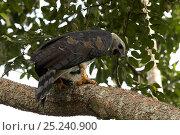 Купить «Harpy Eagle (Harpia harpyja). Gamboa, Soberania National Park, Panama.», фото № 25240900, снято 24 апреля 2019 г. (c) Nature Picture Library / Фотобанк Лори