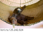 Купить «Brown throated Three-toed Sloth (Bradypus variegatus) 'Buttercup' the sloth ambassador rescued orphan in Aviarios Sloth Sanctuary, Costa Rica», фото № 25242024, снято 21 октября 2018 г. (c) Nature Picture Library / Фотобанк Лори