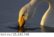 Whooper Swan (Cygnus cygnus) drinking, Kuusamo Finland, June. Fascinating birds bookplate. Стоковое фото, фотограф Markus Varesvuo / Nature Picture Library / Фотобанк Лори