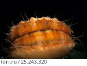 Купить «Spiny Pink Scallop (Chlamys hastata) encrusted with sponge showing eyes peering out, Vancouver Island, British Columbia, Canada, Pacific Ocean», фото № 25243320, снято 16 августа 2018 г. (c) Nature Picture Library / Фотобанк Лори