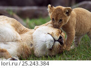 Купить «African lion (Pathera leo) lioness resting with her playful cub aged 1-2 months, Masai Mara National Reserve, Kenya. March», фото № 25243384, снято 14 октября 2019 г. (c) Nature Picture Library / Фотобанк Лори