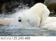 Купить «Polar Bear (Ursus maritimus) shaking off water at ice edge, Svalbard, Norway», фото № 25243488, снято 19 сентября 2019 г. (c) Nature Picture Library / Фотобанк Лори