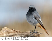 Купить «Black Redstart (Phoenicurus ochruros) profile portrait, Uto Finland April», фото № 25243720, снято 5 июня 2020 г. (c) Nature Picture Library / Фотобанк Лори