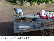 Купить «Seagull (Laridae) scavenging from picnic table, Exmouth, Devon, October 2012.», фото № 25243912, снято 19 августа 2018 г. (c) Nature Picture Library / Фотобанк Лори