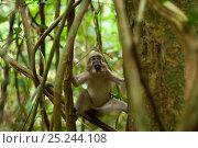 Agile Mangabey (Cercocebus agilis) juvenile surrounded by forest liana. Image showing forested environment / habitat. Bai Hokou, Dzanga-Ndoki National Park, Central African Republic. Стоковое фото, фотограф Jabruson / Nature Picture Library / Фотобанк Лори