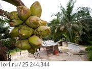 Coconut palm fruit (Cocos nucifera) growth over African village. Sette Cama, near Loango National Park, Gabon, February 2009. Стоковое фото, фотограф Jabruson / Nature Picture Library / Фотобанк Лори