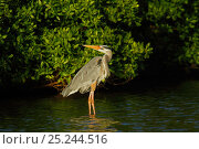Купить «Great Blue Heron (Ardea herodias) in water by mangrove branches. Floreana, Galapagos Islands.», фото № 25244516, снято 17 июля 2018 г. (c) Nature Picture Library / Фотобанк Лори