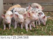 Купить «Gloucester Oldspot Piglets (Sus scrofa domestica) in sty. UK», фото № 25244568, снято 21 июля 2018 г. (c) Nature Picture Library / Фотобанк Лори