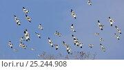 Купить «Snow Bunting flocks (Plectrophenax nivalis) Helsinki Finland, March. Fascinating birds bookplate.», фото № 25244908, снято 18 января 2018 г. (c) Nature Picture Library / Фотобанк Лори