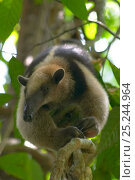 Купить «Northern Tamandua (Tamandua mexicana opistholeuca) in tree, Soberania National Park, Panama, April», фото № 25244964, снято 26 февраля 2020 г. (c) Nature Picture Library / Фотобанк Лори