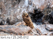 Купить «Short-eared Owl (Asio flammeus) perched on rock. Genovesa, Galapagos Islands.», фото № 25245012, снято 7 июля 2020 г. (c) Nature Picture Library / Фотобанк Лори