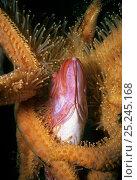 Купить «Sunflower Sea Star (Pycnopodia helianthoides) scavenging dead Yelloweye Rockfish (Sebastes ruberrimus) Vancouver Island, British Columbia, Canada North Pacific Ocean», фото № 25245168, снято 14 ноября 2018 г. (c) Nature Picture Library / Фотобанк Лори